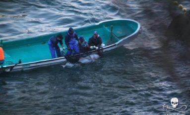 """La mattanza dei delfini: ecco i """"pirati buoni"""" contro la strage"""