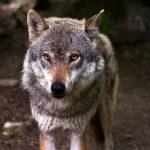 caccia ai lupi
