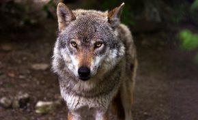 Bracconieri di Stato, la strage dei lupi è legge