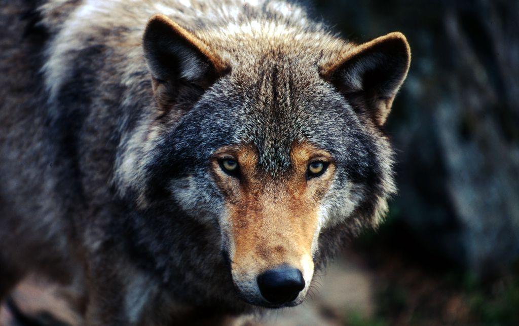 Droni, sniffer-dog e molta informazione: il Wwf va a caccia di bracconieri