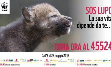 Avvelenati, investiti e scuoiati: la strage dei lupi non si ferma nemmeno nelle aree protette