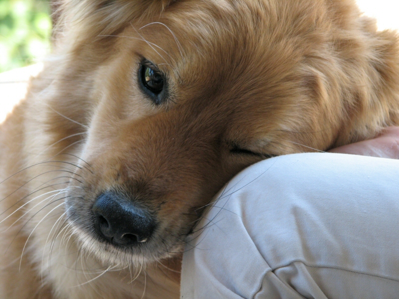 "Pet therapy, guarigioni e business: i dubbi sugli ""emotional support"""